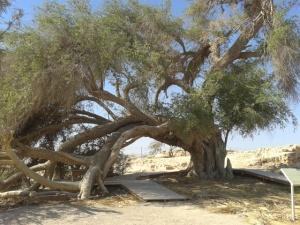Ein Husub - jujube tree